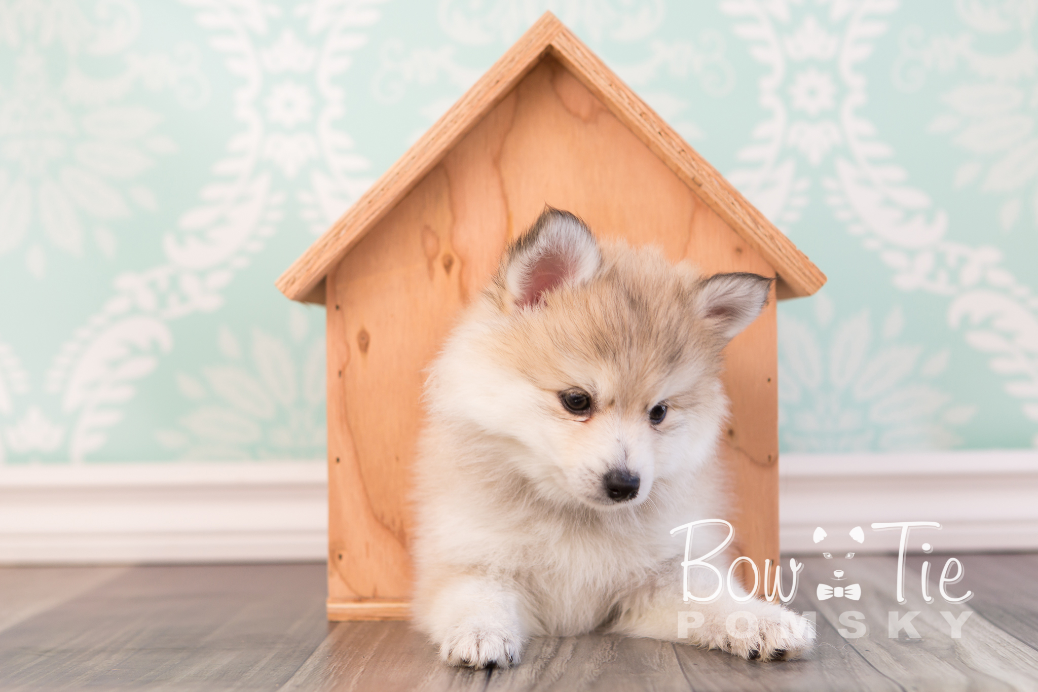 Miniature pomeranian husky