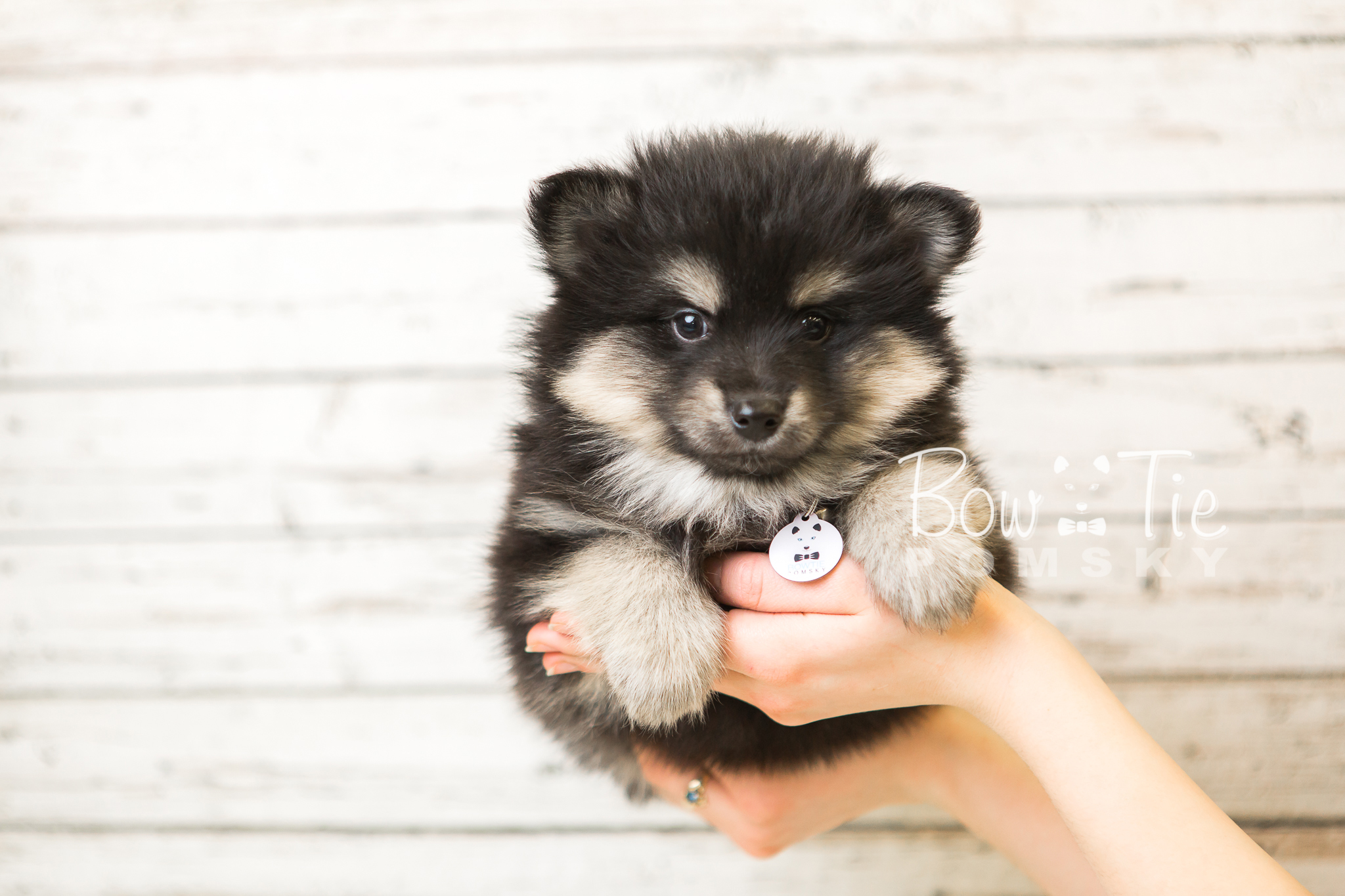 miniature pomeranian alaskan husky puppies