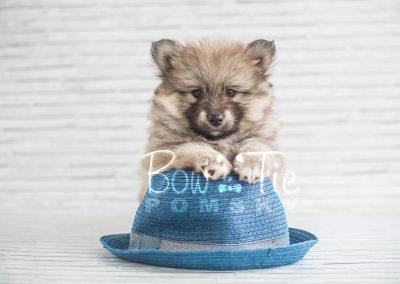 puppy16 BowTiePomsky.com Bowtie Pomsky Puppy For Sale Husky Pomeranian Mini Dog Spokane WA Breeder Blue Eyes Pomskies photo-1818
