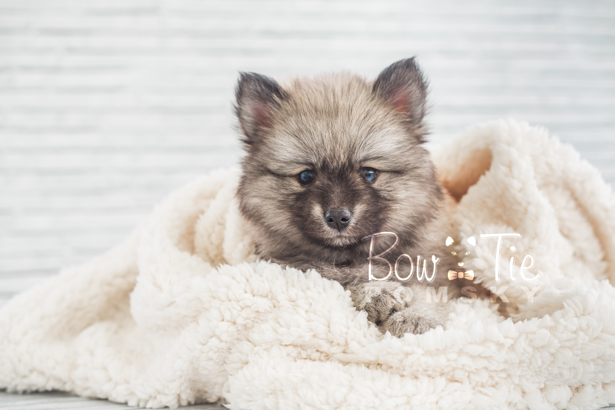 For Sale Pomsky Dog