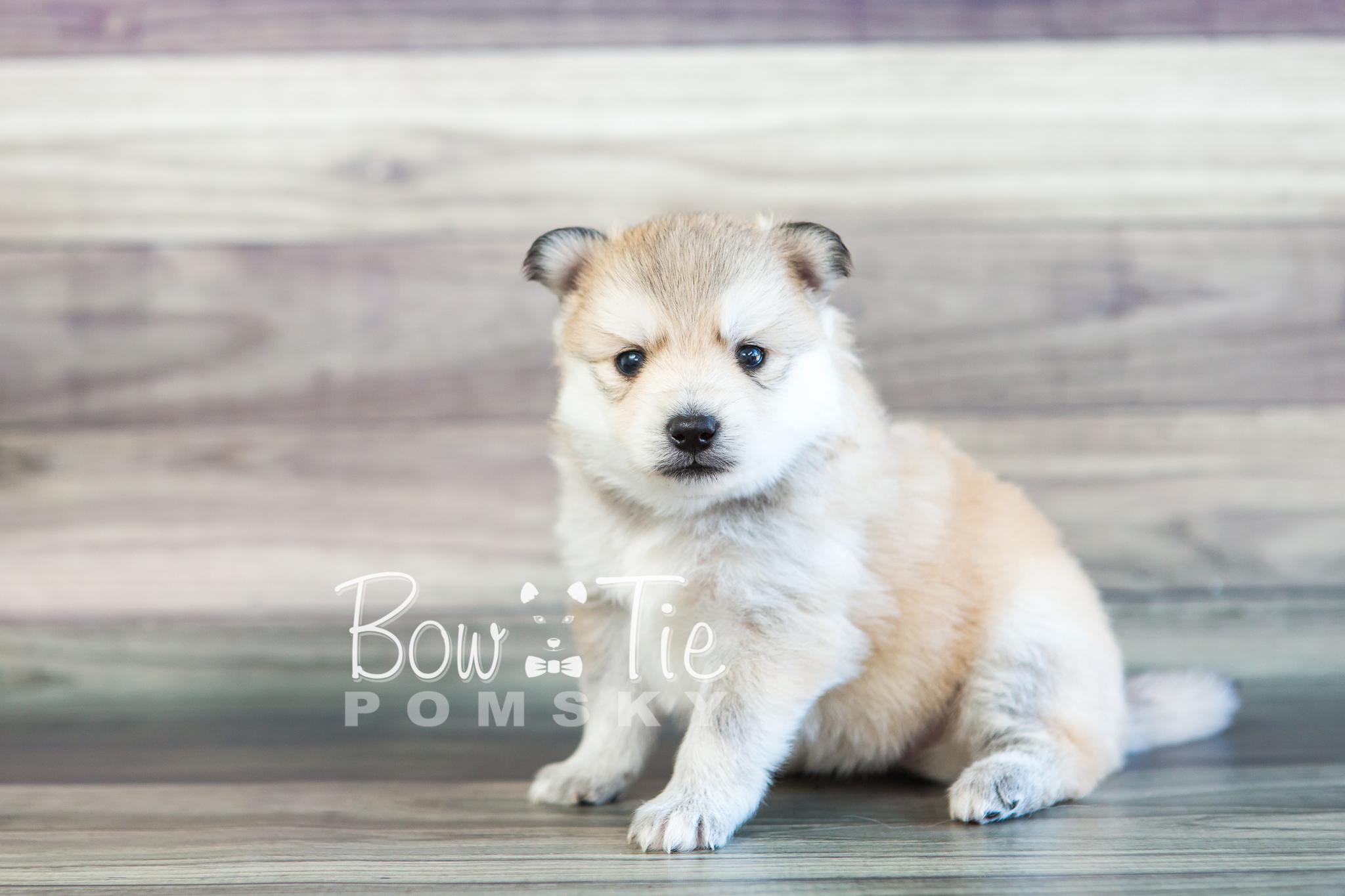Mini Pomsky Dog Ecosia