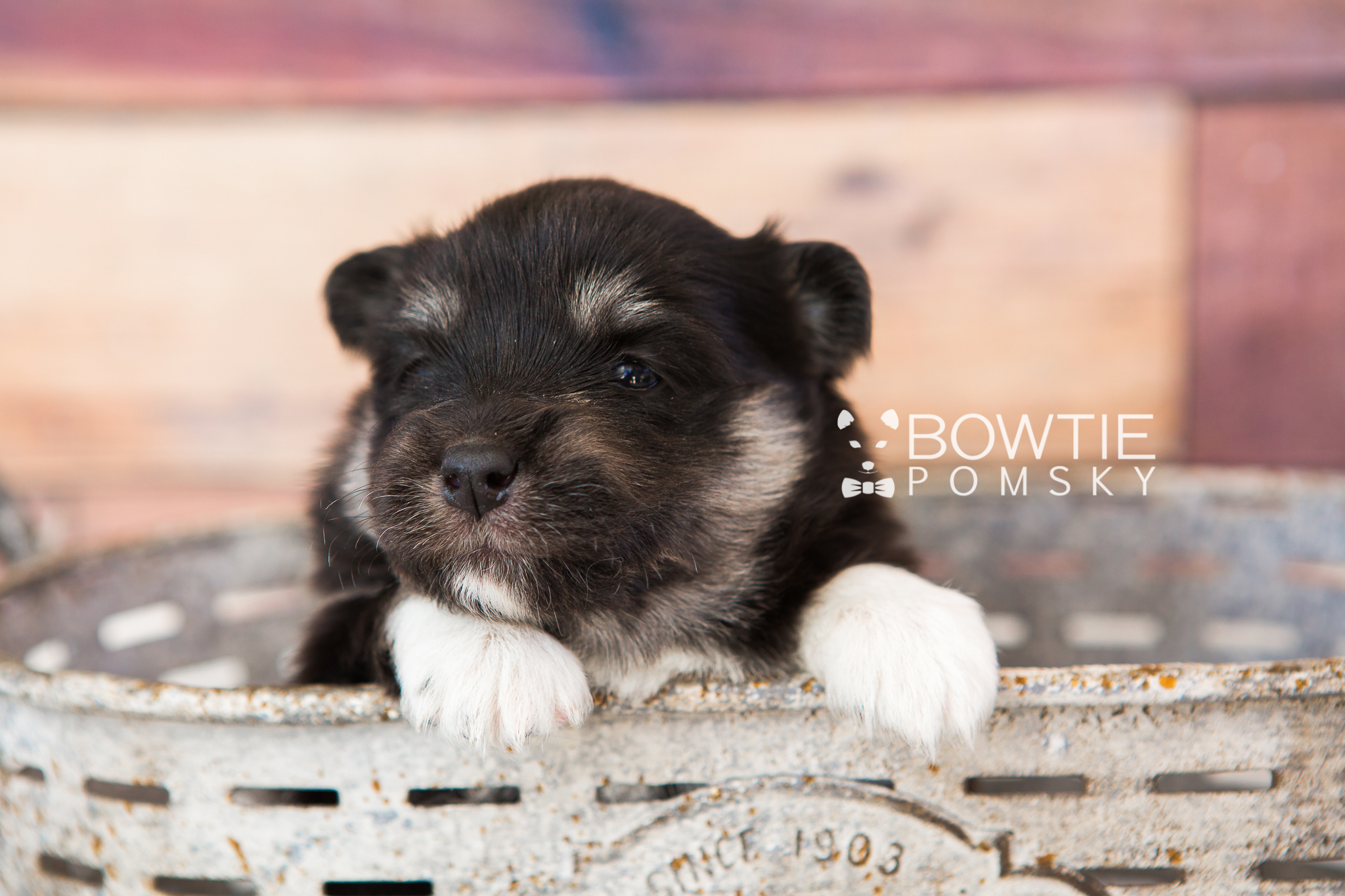 1st Gen Puppy Girl Porsche Bowtie Pomsky World