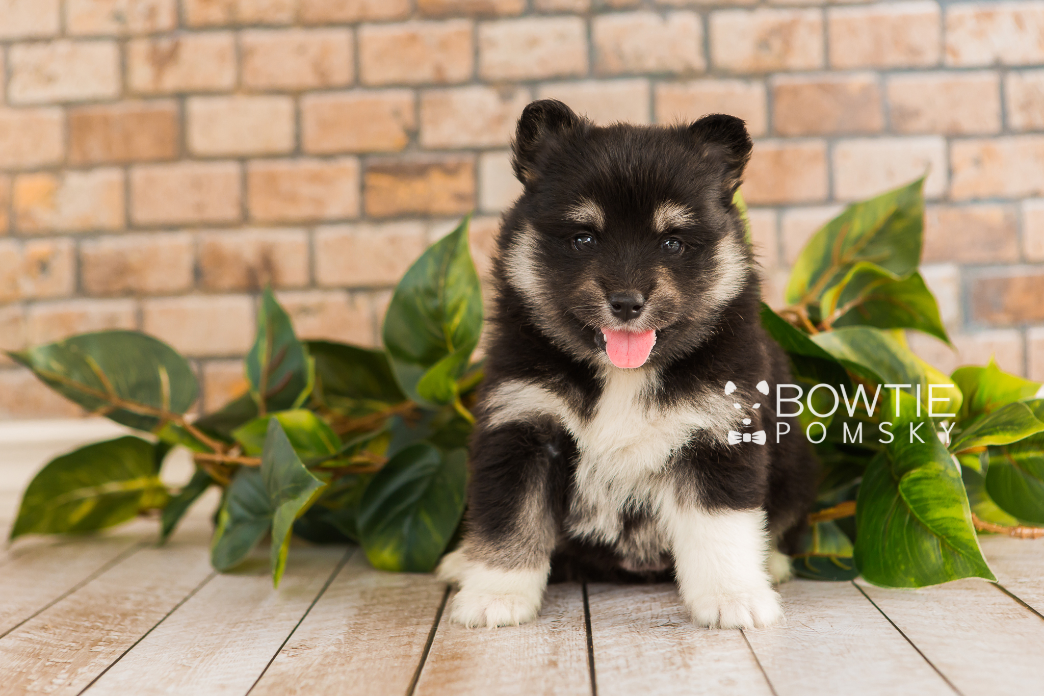 1st Gen Puppy Girl Porsche Bowtie Pomsky World