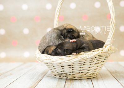 puppy76-80 week1 BowTiePomsky.com Bowtie Pomsky Puppy For Sale Husky Pomeranian Mini Dog Spokane WA Breeder Blue Eyes Pomskies Celebrity Puppy web1