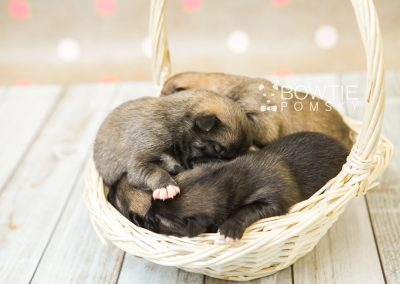 puppy76-80 week1 BowTiePomsky.com Bowtie Pomsky Puppy For Sale Husky Pomeranian Mini Dog Spokane WA Breeder Blue Eyes Pomskies Celebrity Puppy web2