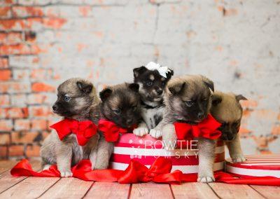 puppy76-80 week5 BowTiePomsky.com Bowtie Pomsky Puppy For Sale Husky Pomeranian Mini Dog Spokane WA Breeder Blue Eyes Pomskies Celebrity Puppy web1
