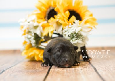 puppy79 week1 BowTiePomsky.com Bowtie Pomsky Puppy For Sale Husky Pomeranian Mini Dog Spokane WA Breeder Blue Eyes Pomskies Celebrity Puppy web5