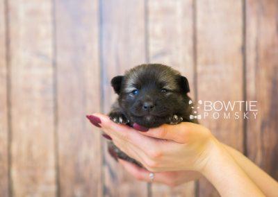 puppy79 week3 BowTiePomsky.com Bowtie Pomsky Puppy For Sale Husky Pomeranian Mini Dog Spokane WA Breeder Blue Eyes Pomskies Celebrity Puppy web1