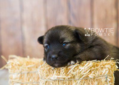 puppy79 week3 BowTiePomsky.com Bowtie Pomsky Puppy For Sale Husky Pomeranian Mini Dog Spokane WA Breeder Blue Eyes Pomskies Celebrity Puppy web6