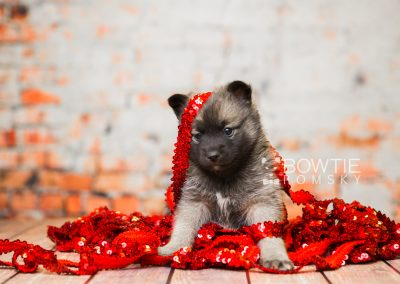 puppy79 week5 BowTiePomsky.com Bowtie Pomsky Puppy For Sale Husky Pomeranian Mini Dog Spokane WA Breeder Blue Eyes Pomskies Celebrity Puppy web3