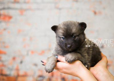 puppy79 week5 BowTiePomsky.com Bowtie Pomsky Puppy For Sale Husky Pomeranian Mini Dog Spokane WA Breeder Blue Eyes Pomskies Celebrity Puppy web4