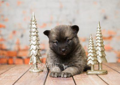 puppy79 week5 BowTiePomsky.com Bowtie Pomsky Puppy For Sale Husky Pomeranian Mini Dog Spokane WA Breeder Blue Eyes Pomskies Celebrity Puppy web5