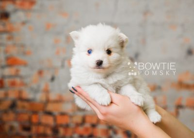 puppy83 week5 BowTiePomsky.com Bowtie Pomsky Puppy For Sale Husky Pomeranian Mini Dog Spokane WA Breeder Blue Eyes Pomskies Celebrity Puppy web4