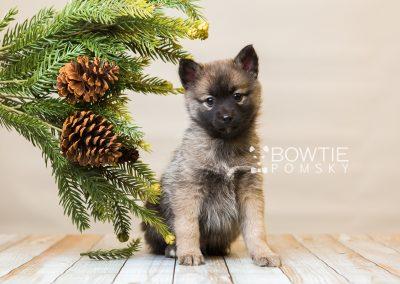 puppy79 week7 BowTiePomsky.com Bowtie Pomsky Puppy For Sale Husky Pomeranian Mini Dog Spokane WA Breeder Blue Eyes Pomskies Celebrity Puppy web3