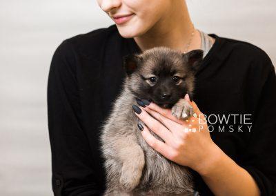 puppy79 week7 BowTiePomsky.com Bowtie Pomsky Puppy For Sale Husky Pomeranian Mini Dog Spokane WA Breeder Blue Eyes Pomskies Celebrity Puppy web6